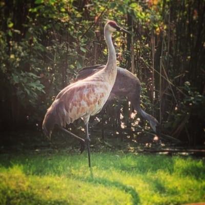Sand Hill Cranes - Horicon, Wisconsin