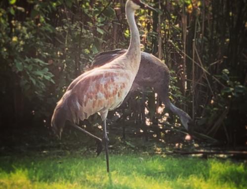 Sand Hill Cranes – Horicon, WI